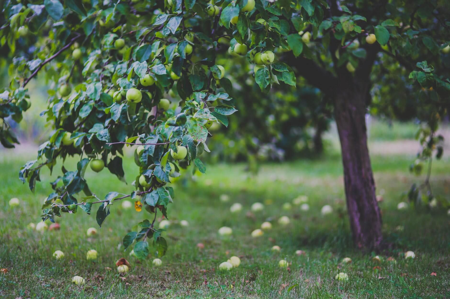 Bo Radyn-Green apples